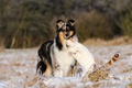 Picture cat, collie, dog, friendship, love, cat