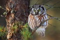 Picture tree, small owl, Tengmalm's owl, needles, branches, forest