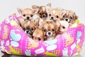 Picture Chihuahua, a lot, cute, puppies