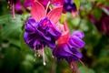 Picture flowers, macro, fuchsia