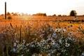 Picture field, summer, chamomile