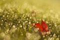 Picture Rosa, grass, sheet, glare