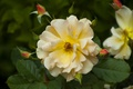 Picture macro, petals, yellow rose, buds, rose