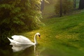 Picture background, bird, Swan