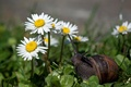 Picture flowers, chamomile, little snail, weed
