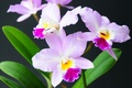 Picture pink, exotic, Orchid