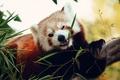 Picture animal, red Panda, grass, bokeh