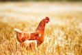 Picture macro, chicken, field, red