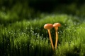Picture bokeh, macro, Rosa, glare, grass, mushrooms, drops
