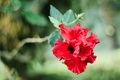 Picture flower, red, petals