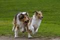 Picture Scottish shepherd, the game, running, Collie