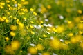 Picture flowers, yellow, glade, buttercups