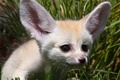 Picture eyes, nose, Fox, white, ears, sandy Fox