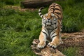 Picture grass, wood, tiger, lazy