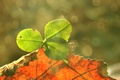 Picture leaves, good luck, clover