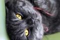 Picture cat, look, black, cat, striped, cat