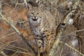 Picture branches, tree, predator, beast, lynx, big cat