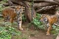 Picture cat, grass, tiger, pair, Sumatran