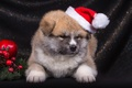 Picture Japanese Akita, puppy, hat