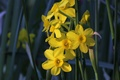 Picture yellow, spring, daffodils