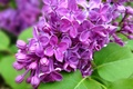 Picture flowers, branch, purple, lilac, nature, spring, leaves