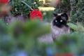 Picture cat, eyes, fluffy, summer, blue, muzzle, blurry, beauty, garden, plants, Siamese, flowers, cat