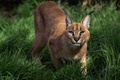 Picture greens, summer, grass, look, muzzle, lynx