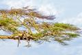 Picture the sky, tree, leopard, big cat