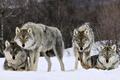 Picture winter, look, snow, predator, pack, wolves, beast