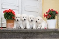 Picture dogs, flowers, puppies, Quartet, begonia