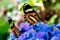 Picture butterfly, beautiful, sitting, on the colors