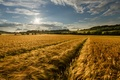 Picture the sky, field, nature, summer, gold, spikelets