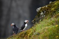 Picture birds, Atlantic puffin, Fratercula arctica, background, Puffin, rocks, stones