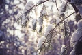 Picture landscape, branches, forest, pine, snowflakes, the snow, trees, pine, branch, winter, snow, the snow, macro