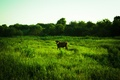 Picture cow, mmd, cow, field, meadow