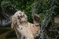 Picture the game, predator, paws, white tiger, bathing, mouth, face, jump, squirt, water, fangs, wild cat