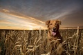 Picture dog, look, nature, golden retriever, each