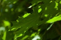 Picture greens, summer, maple leaves, bokeh
