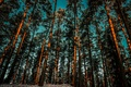 Picture pine, the sky, trees, forest