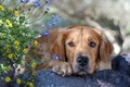 Picture face, flowers, dog, Retriever