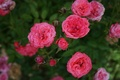 Picture small, flowers, roses, pink