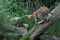 Picture pair, Serval, grass, log, cats