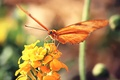 Picture butterfly, background, orange, flower, yellow