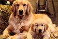 Picture dogs, portrait, Family