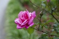 Picture Bud, petals, rose