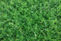 Picture knotweed, grass, green