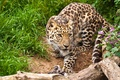 Picture cat, grass, look, flowers, leopard, snag, the Amur leopard