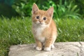 Picture cat, cute, fluffy, adorable eyes