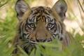 Picture tiger, predator, wild cats