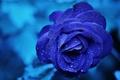 Picture drops, macro, rose, blue, Blue, Roses, Drops